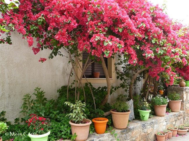 Bougainvilia in Fodele